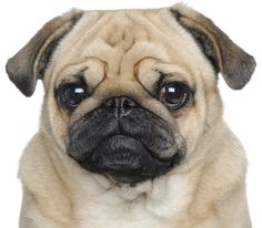 The Pug is one of the oldest breeds of dogs.
