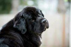 Newfoundland Dogs, Gentle Giant, Yorkies, Big Dogs, Shih Tzu, Dog Stuff, Labs, Dog Breeds, Labrador Retriever