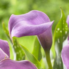 "Calla Lily ""Lavender Gem"" (3 bulb) Ideal for Pots and Planters, Cut Flowers. Perk up your summer garden with tropical color"