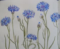 Sketchbook cornflowers by Lisa Toppin.
