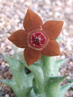 Orbea laticorona