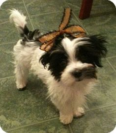 Roscoe Is An Adoptable Shih Tzu Dog In Rochester Ny Dogs