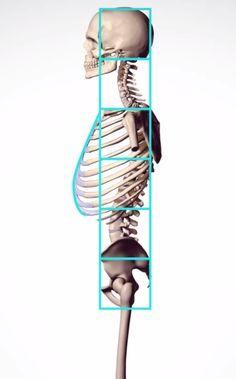 #human #proportion #sideview #skeleton #anatomy