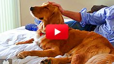 This Golden Retriever Doesn't Know He's Blind, Or He Doesn't Care Because He Finally Found a Home!