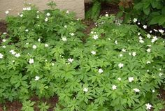 Anemone canadensis - Google Search