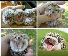 Hedgehoglets :)