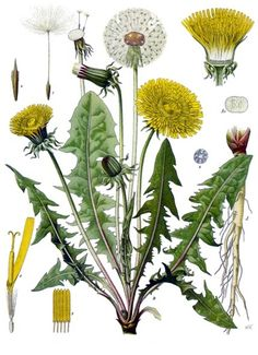 Dandelion - Taraxacum officinale - drawing from an old medicinal plant book