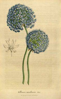 Allium Plant Illustration