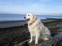 Jake enjoying the view on White Rock Beach Labrador Retriever, Rock, Beach, Places, Green, Animals, Labrador Retrievers, Animales, Animaux
