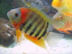 Aquarium Fish For Sale, Saltwater Aquarium Fish, Freshwater Aquarium Fish, Cichlid Aquarium, Cichlid Fish, Discus, Tropical Fish Tanks, Tropical Aquarium, Rare Fish
