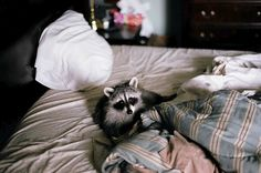 {even raccoons like to get cozy}
