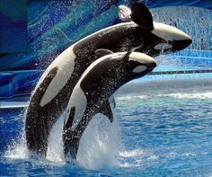 Littlestschnauzer took this photo of killer whales at Seaworld using a Nikon D500.