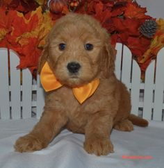 Goldendoodle puppy from Moss Creek Goldendoodles