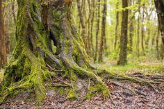 oak tree roots - Google Search
