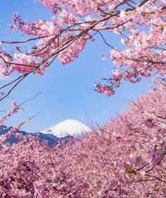 Blooming Cherries - Japan