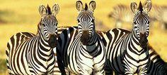 Kenya : 100% safari Masai Mara, Nakuru, Amboseli proposé par Magdalena, agent local au Kenya