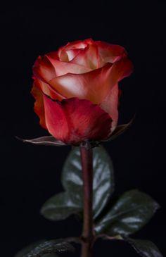 ℛ́ ℱ  FARFALLA - 75  Eden Roses Ecuador
