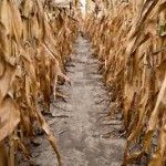 Canada and the European Union joined countries facing a disappointing corn harvest after heat and drought cut yield prospects, as already highlighted in Ukraine and the US.