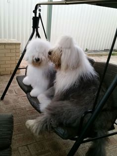 Old English sheepdog Dylan and Daisy