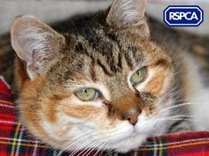 Jill, Domestic Shorthair crossbreed cat, 5 Years, RSPCA Cambridgeshire Mid East Branch
