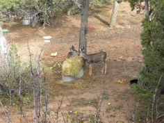 With a little assistance to get them started, the young mule deer are able to wander and meet wild deer and learn from them.