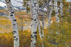 Autumn Aspens 8 Photograph by Leland D Howard