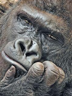 Gorilla, Richard Gorilla - This amazing photo was taken by Milan Vorisek.Gorilla - This amazing photo was taken by Milan Vorisek. Primates, Mammals, Nature Animals, Animals And Pets, Cute Animals, Beautiful Creatures, Animals Beautiful, Regard Animal, Gorillas In The Mist