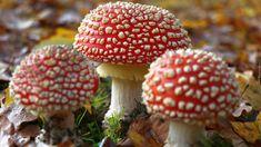 Muchomory, Ściółka, Liście Indian Artifacts, Mushroom Fungi, Stuffed Mushrooms, Fruit, Nature, Flora, Mushrooms, Stuff Mushrooms, Naturaleza