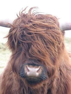 Scottish Highland cow - bad hair day and still cuter than most people!