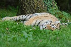 Banham Zoo Tiger | Flickr - Photo Sharing!