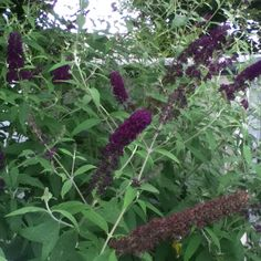 The butterfly bush - loves the heat and afternoon sun - westside