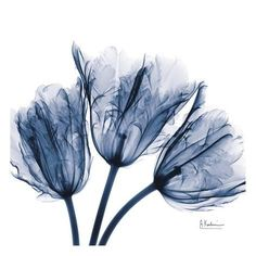 Empire Art Direct Blue Tulip X-Ray Frameless Free Floating Tempered Glass Panel Graphic Wall Art, 24 inch x 24 inch x inch, Ready to Hang, Multi- Xray Flower, Flower Wall, Art Bleu, Indigo Prints, Blue Prints, Blue Tulips, Blue Flowers, Glass Wall Art, Blue Art