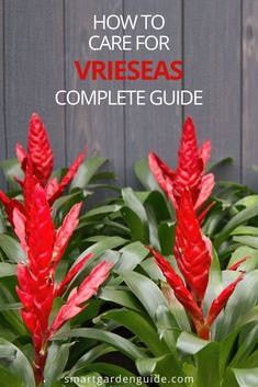 Complete guide to Vriesea care. This beautiful flowering houseplant is so easy to look after, as long as you remember these few important tips.