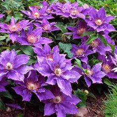 Buy Clematis Bijou Perennial Vines Online. Garden Crossings Online Garden Center offers a large selection of Clematis Plants. Shop our Online Vine catalog today!
