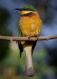Cinnamon Chested Bee Eater, Image by Stan Mansfield  Identified this little beauty in The Lobo area of Serengeti. thanks for the image Stan.