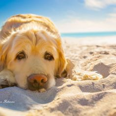golden retriever dog relaxing, resting,or sleeping at the beach #goldenretriever