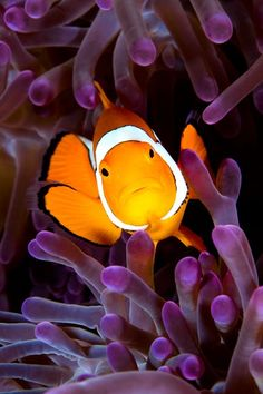 A clownfish in purple coral. The oceans amazing creatures. Happy, feel good pictures.