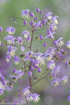 Thalictrum delavayi - meadow rue, grey fern like foliage, tiny lilac flowers midsummer Purple Garden, Shade Garden, Garden Plants, Amazing Flowers, Purple Flowers, Beautiful Flowers, Meadow Garden, Woodland Garden, Flowers Nature