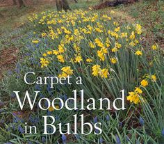 Bulbs for a woodland - excellent article covering bulbs which bloom from February to May plus other perenials to plan with the bulbs to keep the garden going all year long