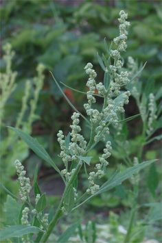 The Outdoor Adventure: Survival in the Outdoors: 5 Wild Vegetable Greens to Feed and Heal You