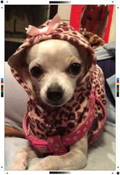Cutest chihuahua!