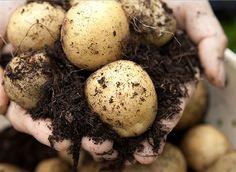 Des pommes de terre sur le balcon