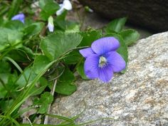 Common Blue Violet © Rachel Ross