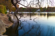 A tree growing on the edge of zoo lake in Johannesburg, South Africa #lake #Africa #photo #tree #photograph