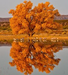 Another stunning fall photo from America's great outdoors. A Cottonwood tree and sandhill cranes at Bosque del Apache National Wildlif...