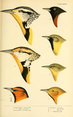 A history of North American birds v.2 Boston :Little, Brown,1905. Biodiversitylibrary. Biodivlibrary. BHL. Biodiversity Heritage Library