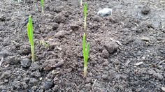 Nice to see my garlic coming up. #allotment #gardening #growyourown