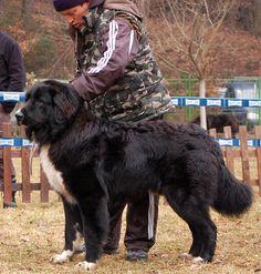 Romanian raven shepherd dog www.corbi.ro