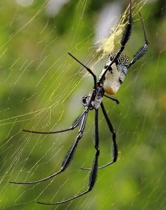 Black-legged Golden Orb-web spider There are only three species of Nephila in South Africa and this one is widespread throughout the country. The males are much smaller than the females and sneak up on the females while they are busy eating. Copulation can take as long as 15 hours, he then sneaks away again as if nothing happened. The young spiderlings cannibalise each other and then disperse. Despite their formidable appearance it is very unlikely for people to get bitten by these spiders…