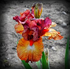 SAFARI SUNSET  Tall Bearded Iris  Dug cleaned & by RNgardens